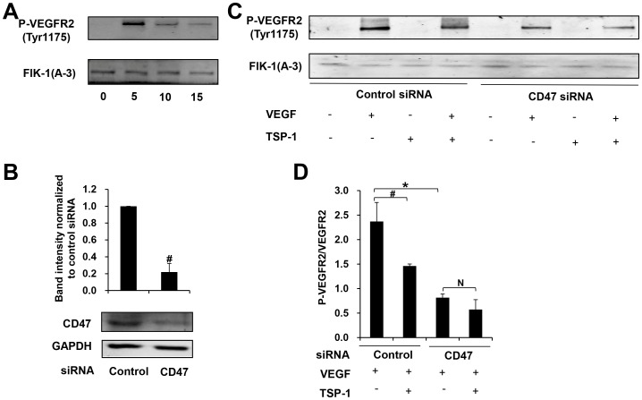 TSP-1 inhibits VEGF induced <t>VEGFR2</t> phosphorylation through CD47. (A) Late EPCs were treated with VEGF (25 ng/ml) for 0, 5, 10, 15 min respectively. Total protein was extracted and the expression of FLK-1, phospho-VEGFR2 (Tyr1175) was determined by Western blot. (B)Seventy-two hrs after transfection of CD47-specific siRNA or control siRNA, the expression of CD47 in late EPCs was determined by western blotting analysis in three independent experiments (#p