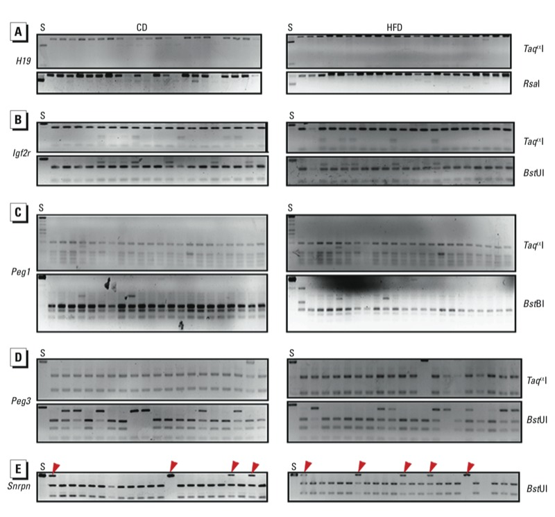 DNA methylation patterns in DMRs of paternally imprinted gene H19 ( A ) and maternally imprinted genes Igf2r ( B ), Peg1 ( C ), Peg3 ( D ), and Snrpn ( E ) in oocytes from CD and HFD dams as determined by COBRA. Oocytes from 10 mice were used per analysis. Spermatozoa ( S ) were used as a control. Restriction enzymes used are shown on the right. Red arrowheads indicate undigested bands: For H19 ( A ), the spermatozoa sample was digested and oocyte samples were undigested; for Igf2r ( B ), Peg1 ( C ), Peg3 ( D ), and Snrpn ( E ), the spermatozoa sample was undigested, but some oocyte samples were digested.
