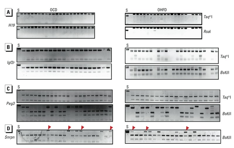 DNA methylation patterns in DMRs of paternally imprinted gene H19 ( A ) and maternally imprinted genes Igf2r ( B ), Peg3 ( C ), and Snrpn ( D ) was in oocytes of OHFD and OCD mice as determined by COBRA. Oocytes from 10 mice were used for each analysis. Spermatozoa ( S ) were used as a control. Restriction enzymes used are shown on the right. Red arrowheads indicate undigested bands.