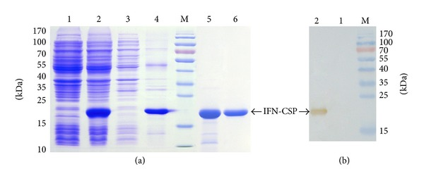 Analysis of fusion protein by SDS-PAGE and Western blot. (a) Expression and purification of IFN-CSP. Lane M: protein molecular weight marker. Lanes 1 and 2: total proteins of E. coli BL21/pET-21b-IFN-CSP before and after induction. Lanes 3 and 4: supernatant and precipitation after ultrasonication and centrifugation. Lane 5: purified IFN-CSP using Ni affinity chromatography. Lane 6: Purified IFN-CSP using HiTrap affinity chromatography. (b) IFN-CSP was analyzed by SDS-PAGE, transferred to PVDF membrane, and detected by goat polyclonal anti-human IFN α antibody. Lane M: protein molecular weight marker. Lanes 1 and 2: total proteins of E. coli BL21/pET-21b-IFN-CSP before and after induction.
