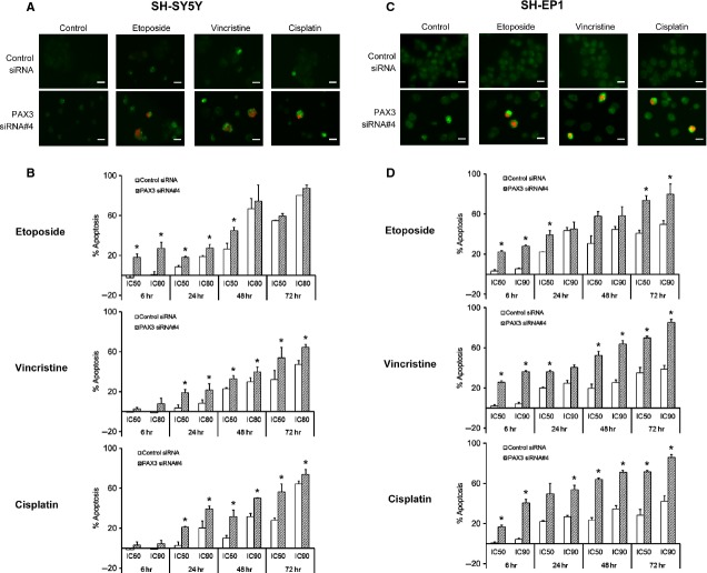 Quantification of apoptosis in PAX3 siRNA transfected SH-SY5Y (A and B) and SH-EP1 (C and D) cells following the treatment with chemotherapeutic drugs. (A) Depicts representative immunofluorescence staining of control siRNA and PAX3 siRNA#4 transfected SH-SY5Y cells which were exposed to drugs at IC 50 for 24 hrs for annexin V (green) and propidium iodide (red). (B) Histograms show apoptosis as measured by the percentage of cells with pre-G1 DNA content among control siRNA or PAX3 siRNA#4 transfected SH-SY5Y cells treated with etoposide, vincristine and cisplatin at IC 50 and IC 80 /IC 90 for 6, 24, 48 and 72 hrs. (C) Depicts representative immunofluorescence staining of control siRNA and PAX3 siRNA#4 transfected SH-EP1 cells which were exposed to drugs at IC 90 for 6 hrs for annexin V (green) and propidium iodide (red). (D) Histograms show apoptosis as measured by the percentage of cells with pre-G1 DNA content among control siRNA or PAX3 siRNA#4 transfected SH-EP1 cells treated with etoposide, vincristine and cisplatin at IC 50 and IC 90 for 6, 24, 48 and 72 hrs. Scale bars represent 20 μm. Error bars represent mean ± SD for two independent experiments. * P