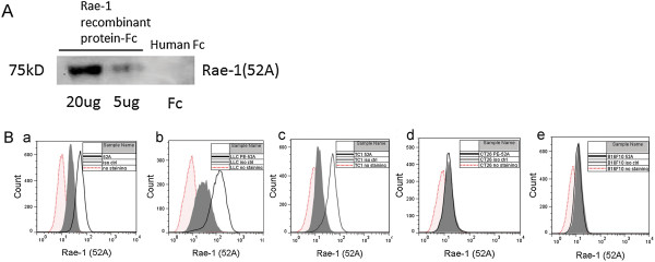 Application of the <t>anti–Rae-1</t> mAb in Western blotting and flow cytometry. A . Detection of Rae-1 recombinant protein in Western blotting using the 52A mAb. Rae-1b recombinant protein (20 μg and 5 μg) and control human IgG-Fc (20 μg) were loaded onto 10% sodium dodecyl sulfate–polyacrylamide gel. In the Western blot assay, the primary antibody was the 52A anti–Rae-1 mAb, and the secondary antibody was <t>HRP</t> goat anti-mouse IgG. B . Detection of Rae-1 expression levels in multiple murine cancer cell lines using the 52A anti–Rae-1 mAb. Murine tumor cells were not stained, stained with isotype control, or stained with the 52A anti–Rae-1 mAb. Rae-1 expression levels were assessed using flow cytometry. a , K7M3 cells; b , LLC cells; c , TC1 cells; d , CT26 cells; e , B16F10 cells.