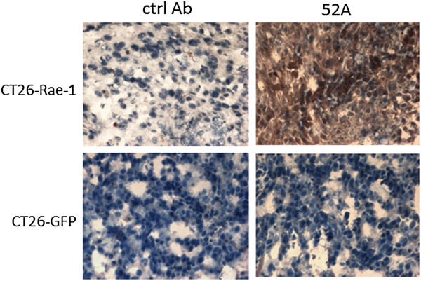 Application of the anti–Rae-1 mAb in immunohistochemistry staining of tissue sections. CT26–Rae-1 and CT26-GFP frozen tumor sections were stained with the 52A anti–Rae-1 mAb and then stained with HRP-conjugated goat anti-mouse secondary antibody or secondary antibody alone.