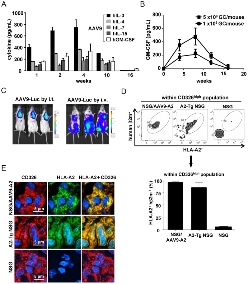 In vivo expression of human cytokines and HLA-A2/hβ2-m in NSG mice upon AAV9-mediated gene delivery. (A) NSG mice were inoculated with 5×10 9 GC/mouse of AAV9 encoding each cytokine, and 1, 2, 4, 8, 10, or 16 weeks later, sera were collected from the mice and cytokine production was determined using ELISA. (B) The level of human GM-CSF produced in the sera was determined after inoculation of NSG mice with a high (5×10 9 GC/mouse) or a low (1×10 9 GC/mouse) dose of AAV9-GM-CSF. (C) Luciferase expression 2 weeks after inoculation of NSG mice with 1×10 10 GC of AAV9-GFP-Luc via intrathoracic or i.v. route is shown by injecting D-luciferin intraperitoneally, followed by whole body in vivo imaging analyses. (D) NSG mice were administered intrathoracically with 5×10 10 GC of AAV9-A2 and 4 weeks later, the expression of HLA-A2 and hβ2m by CD326 HIGH cells within the thymus of AAV9-A2-infected NSG mice, A2-Tg NSG mice, and naïve NSG mice was determined using flow cytometric analyses. (E) Immunohistochemical analyses show HLA-A2 (green) and CD326 (red) staining of thymic tissue from AAV9-A2-transduced NSG mice, A2-Tg NSG mice, and naïve NSG mice. Hoechst 33342 (blue) was used to counterstain nuclei.