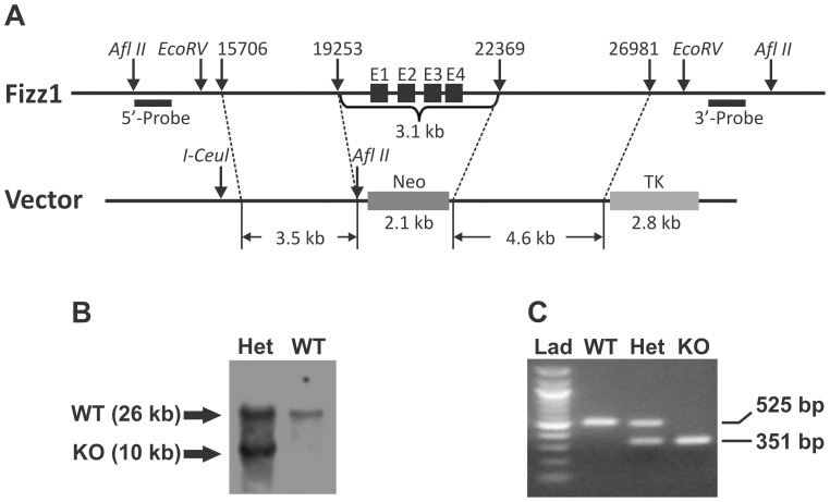 """Generation of FIZZ1 KO mice. (A) Gene targeting strategy and restriction map of FIZZ1 gene. The diagram showed the wild type FIZZ1 gene allele and the gene targeted allele. The black boxes E1–E4 represent the four exons of FIZZ1 gene. All four exons of the FIZZ1 gene were replaced by a Neo gene cassette. (B) Southern blotting analysis of an ES cell clone with homologous recombination. A 3′ probe (shown in A) was used to detect 26 kb WT and 10 kb KO alleles. (C) PCR genotype using mouse tail DNA from wild type (""""WT""""), FIZZ1 heterozygote (""""Het"""") and homozygous knockout (""""KO"""") mice. The PCR fragment for WT was 525 bp, and KO was 351 bp. """"Lad"""" referred to 100 bp ladder."""