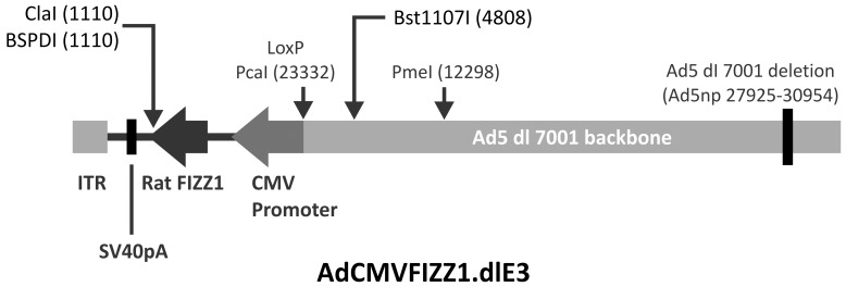 """Construction of AdFIZZ1. AdCMVFIZZ1.dlE3 was generated by inserting a 500-LoxP recombination between shuttle vector and the cAd5-deltaE3.LoxP cosmid. Rat FIZZ1 cDNA was under CMV promoter. """"ITR"""" referred to the Ad5ITR and Packaging signal."""