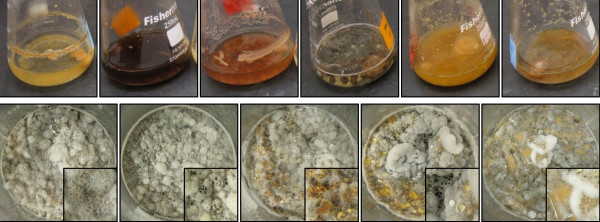 Photos of G2 in liquid media (top); from left to right: <t>Czapek</t> <t>dox,</t> 2% malt extract, potato dextrose, YPSS, YESD, and PYG broths. Photos of G2 on solid media (bottom); from left to right: rice, grits, oatmeal, wheat germ, and 3:1:1:1, respectively, of the same. Enlargements of the photos (2.5×) are provided in the lower right hand corner to help visualize the production of spores (orange) and/or exudates (black).