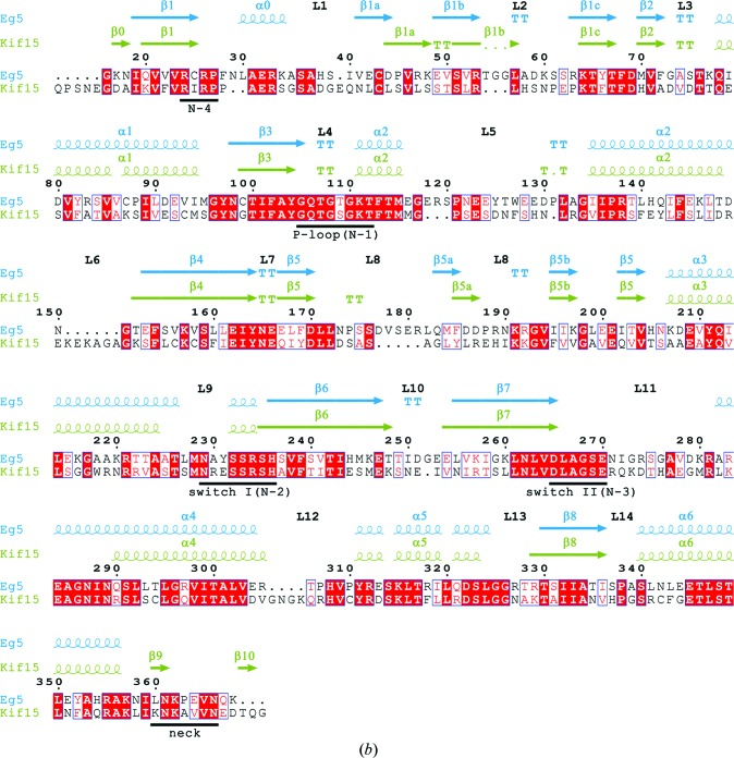 Overall structure of the binary Kif15 19–375 –Mg 2+ -ADP complex and comparison of the sequence/secondary structure of the Kif15 and Eg5 motor domains. ( a ) Stereo plots of the front and back view of the human Kif15 motor domain. α-Helices are coloured blue, β-strands green and loops/turns grey. The switch II cluster (α4–L12–α5) is highlighted in claret and the neck linker following the C-terminal helix α6 is shown in cyan. Mg 2+ -ADP is shown as a ball-and-stick model. ( b ) Structural and sequence alignment of the Eg5 (PDB entry 3hqd ; Parke et al. , 2009 ▶ ) and Kif15 motor domains. Residue 16 of Eg5 is aligned with residue 24 of Kif15. Identical residues are coloured white on a red background and similar residues are shaded in red. The position of the ATP-binding pocket (N1–N4), the switch I and II regions and the position of the neck-linker regions are underlined in black.