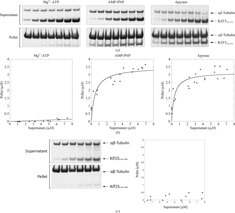 MT pelleting assays in the presence of Kif15 motor or tail domains. ( a ) MT pelleting assays of the Kif15 motor domain in the presence of various nucleotides. Increasing amounts of Kif15 19–375 (1–12 µ M ) were incubated with MTs (5 µ M ) in the presence of 2 m M Mg 2+ -ATP, 2 m M AMP-PNP or 4 mU apyrase. Sample s of supernatants and pellets were analysed by SDS–PAGE. ( b ) MT binding of Kif15 19–375 in the presence of 2 m M Mg 2+ -ATP, 2 m M AMP-PNP or 4 mU apyrase. The plotted data relate to the amounts (µ M ) of Kif15 19–375 recovered from supernatant and pellet (pelleted with MTs) fractions of reactions run in the presence of various nucleotides. Data were obtained by analysing the SDS–PAGE ( ImageJ 143.u) presented in ( a ). ( c ) MT pelleting assays of the Kif15 tail domain. Increasing amounts of Kif15 1149–1388 (1–10 µ M ) were incubated with MTs (5 µ M ). Samples of supernatants and pellets were analysed by SDS–PAGE. The plotted data relate to the amounts (µ M ) of Kif15 1149–1388 recovered from supernatant and pellet (pelleted with MTs) fractions. Data were obtained by analysing the SDS–PAGE ( ImageJ 143.u) presented on the left side of the figure.