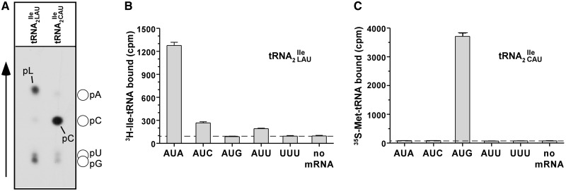 Lysidine is absent in tRNA 2 Ile from Bacillus subtilis JJS80 lacking tilS . ( A ) 1D TLC analysis of the wobble position 34 in tRNA 2 Ile purified from B. subtilis wild-type and JJS80. Purified wild-type tRNA 2 and mutant tRNA 2 were partially hydrolyzed by alkali, the 5′ termini of the fragments were 32 P-labeled using T4-PNK. 32 P-labeled fragments were subsequently digested with nuclease P1 and the nature of the 5′ terminal nucleotide was determined by TLC. The solvent used was isobutyric acid:concentrated ammonia:water (66:1:33) ( v : v : v ). The mobility of each nucleotide (pA, pC, pG, pU) was confirmed with non-radiolabeled standards used as internal markers and visualized by UV shadowing. ( B and C ) Template-dependent binding of purified wild-type 3 H-Ile-tRNA 2 (B) and mutant 35 S-Met-tRNA 2 (C) to ribosomes isolated from B. subtilis . Oligonucleotides used were AUG AUA, AUG AUC, AUG AUG, AUG AUU and AUG UUU; the oligonucleotide concentration was 200 μM.