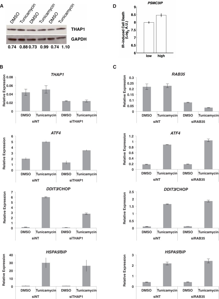 THAP1  and  RAB35,  two ER stress-responsive genes and  PSMC3IP,  an IR stress-responsive gene identified in this study. ( A ) THAP1 protein levels are increased in response to ER stress induced by tunicamycin in primary human fibroblasts; results of biological triplicates. The ratio of THAP1 to glyceraldehyde 3-phosphate dehydrogenase is reported below each lane. ( B ) Knockdown of  THAP1  (average knockdown of 49%) ( P  = 0.03) resulted in attenuated induction of  ATF4  and  DDIT3 /CHOP ( P