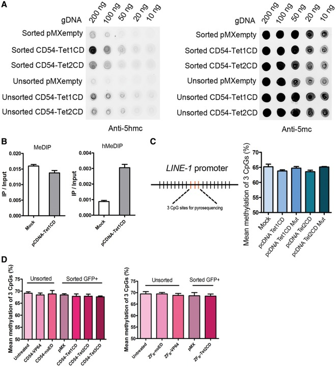 Genome-wide DNA demethylation effects by targeted TET-fusions. ( A ) Fusion of the TET1 and -2 CDs to the ICAM-1 -targeting DNA binding domains CD54 did result in genome-wide induction of hydroxymethylation. DNA dot-blot assays were performed with genomic DNA isolated from unsorted and sorted A2780 ovarian cancer cells transduced to express pMX-CD54-TET1 or -2CD. ( B ) 5-mC and 5-hmC levels at human long interspersed nuclear element-1 ( LINE-1 ) in HEK293T cells transfected with pcDNA-TET1 CD. Quantitative PCR was performed on genomic DNA immunoprecipitated using anti-5-mC antibody (for MeDIP) or anti-5-hmC antibody (for hMeDIP) to evaluate the relative 5-hmC and 5-mC levels (IP/input) at the LINE-1 . Genomic DNA from HEK293T cells transfected with pcDNAempty serves as a negative control ( C ) Quantitative analysis of the methylation levels of core CpG sites in LINE-1 promoter by pyrosequencing after treatment with the untargeted candidate demethylation effector domains TET1 and -2CD as well as catalytically inactive TET1 and -2CD mutant in A2780 ovarian cancer cells. ( D ) Quantitative analysis of the methylation levels of core CpG sites in LINE-1 promoter by pyrosequencing after treatment with the ICAM-1- and EpCAM- targeted candidate demethylation effector domains in unsorted and sorted A2780 ovarian cancer cells. The results are shown as the mean methylation of three CpG sites.