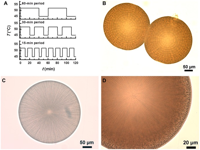 Magnesium carbonate microhemispheres synthesized with a programmable PCR thermocycler. The reactant was a mixture of 240 2 and 500 mM NaHCO 3 (1∶1, V/V). (A) Similar temperature oscillation patterns having different periods. (B–D) Transmitted light microscopic images of microhemispheres produced by the temperature oscillation patterns with 60, 30 and 15-min period, respectively. The corresponding layer thicknesses were 12.0±0.2, 6.0±0.1 and 2.6±0.0 µm.