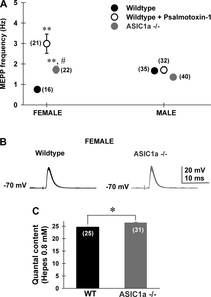 ASIC1a channels presynaptically control transmitter release in motor nerve terminals from female mice. A : average spontaneous miniature end-plate potential (MEPP) frequencies obtained from female ( left ) and male ( right ) wild-type (filled black circles), wild type + psalmotoxin-1 (10 nM, open black circles), and ASIC1a −/− (filled gray circles) levator auris longus muscle motor nerve terminals (MNTs). In female mice, wild-type frequencies were significantly lower compared with both wild type + psalmotoxin-1 (10 nM) and ASIC1a −/− [1-way ANOVA, F (2,61) = 23.1; Bonferroni post hoc test, P