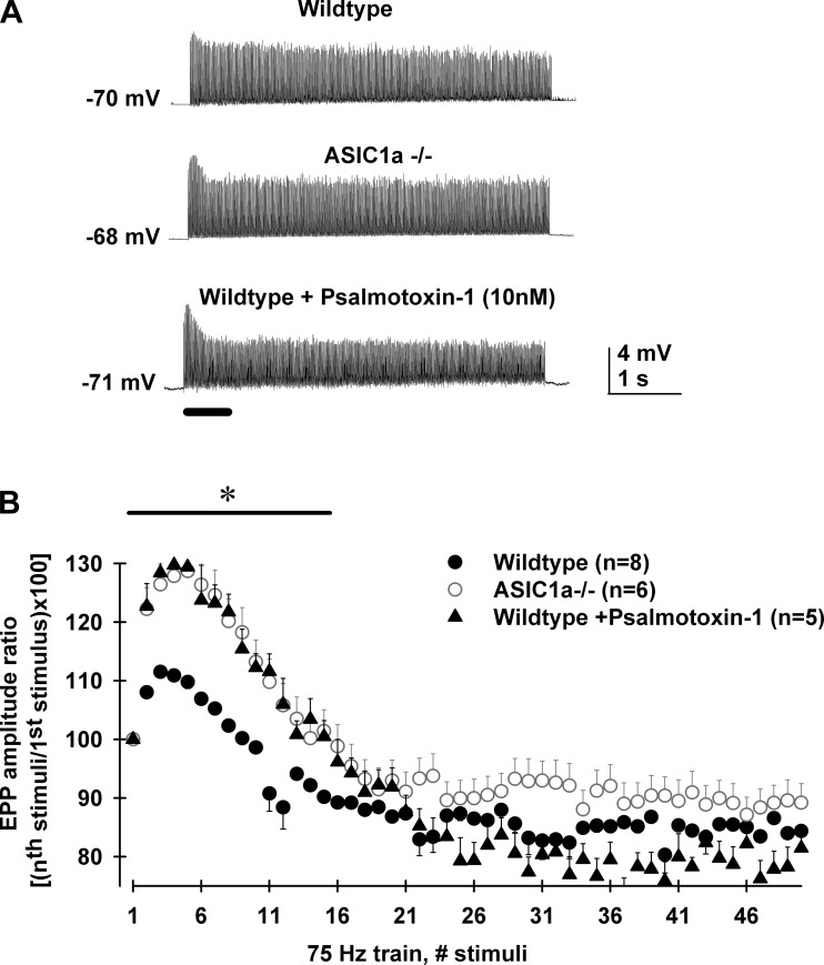 ASIC1a channels reduced neuromuscular transmission during 75 Hz/5 s stimulation train in motor nerve terminals of female mice. A : representative intracellular recordings of EPP are shown during nerve stimulation at 75 Hz (5 s long, 375 stimuli) using 0.8 mM HEPES/2 mM [Ca 2+ ]/1 mM [Mg 2+ ] + 10 μM μ-conotoxin GIIIB saline solution. EPP facilitate during the first stimuli and then undergo depression until a steady state was reached (top trace, wild type). Interestingly, EPP from ASIC1a −/− female mice (mid trace) and female wild type + psalmotoxin 1 (10 nM; bottom trace) presented greater initial facilitation compared with those from wild-type female mice (top trace). B : average EPP amplitude ratio [( n th stimuli amplitude/1st stimulus amplitude) × 100] of the initial 50 stimuli shown in A for levator auris longus MNTs from wild type (filled circles, n = 8 MNTs), ASIC1a −/− (open circles, n = 6 MNTs), and wild type + psalmotoxin-1 (10 nM; filled triangles, n = 5 MNTs). Wild-type ratios were significantly smaller than both wild-type + psalmotoxin-1 (10 nM) and ASIC1a −/− ones [one-way ANOVA, F (2,87) = 4.3; wild type vs. ASIC1a −/− , wild type + psalmotoxin-1 (10 nM), Bonferroni post hoc test, P = 0.016]. Wild-type + psalmotoxin-1 (10 nM) and ASIC1a −/− ratios were not significantly different (Bonferroni post hoc test, P = 1.0). * P