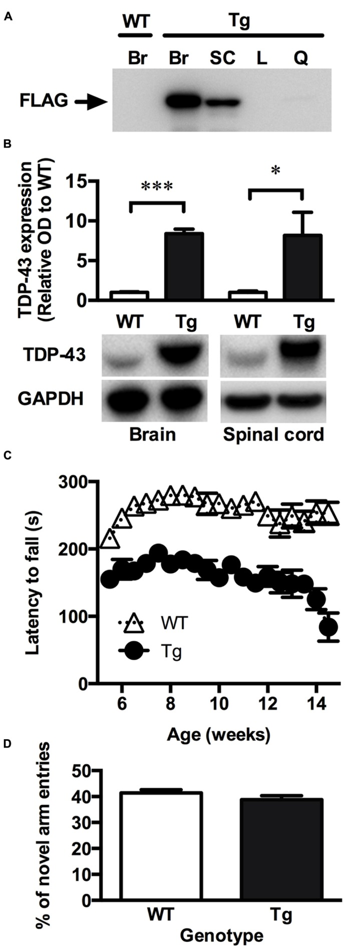 TDP-43 A315T mice express mutant TDP-43 in the CNS and exhibit a locomotor impairment. (A) Representative western blot showing the absence of mutant FLAG-tagged TDP-43 (FLAG) expression in the brain of wild-type (WT) mice and the expression of FLAG-tagged TDP-43 in the brain (Br), and spinal cord (SC) but not liver (L) and quadriceps muscle (Q) of transgenic TDP-43 A315T (Tg) mice. (B) Western blot analysis show a significant overexpression of total TDP-43 in the brain and spinal cord of Tg mice ( n = 9) compared to WT ( n = 9). *** p