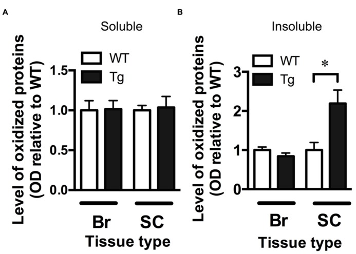 Increased oxidative stress in the spinal cord of TDP-43 A315T mice. (A) The level of oxidized proteins as determined by OxyBlot is unchanged in the soluble fraction (containing cytosolic proteins) of the brain (Br) and spinal cord (SC) of TDP-43 A315T mice (Tg) compared to wild-type littermates (WT). (B) Levels of oxidized proteins were significantly increased in spinal cord insoluble fraction (containing membrane and nuclear material) of Tg compared to WT; * p