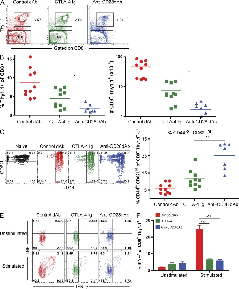 Donor-reactive CD8 + T cell accumulation and differentiation are more profoundly attenuated by selective CD28 blockade versus CTLA-4 Ig. 10 6 Thy1.1 + OT-I and 10 6 Thy1.1 + OT-II T cells were adoptively transferred into naive B6 recipients, which were then challenged with an OVA-expressing skin graft in the presence of control Vκ dAb, CTLA-4 Ig, or anti-CD28 dAb, and then dosed on days 0, 2, 4, and 6 and three times per week continuously thereafter, as described in the Materials and methods. (A) Assessment of frequencies of donor-reactive CD8 + Thy1.1 + T cells on day 10 after transplant in draining lymph nodes. Data shown are representative and gated on CD8 + T cells. (B) Summary data of three independent experiments with a total of 8–10 mice per group. Frequencies (P = 0.0185) and absolute numbers (P = 0.0021) are shown. (C) Analysis of CD44 and CD62L expression on CD8 + Thy1.1 + T cells in DLN on day 10 after transplant. Data shown are representative. (D) Summary data of 3 independent experiments with a total of 8–10 mice per group. (P = 0.0004). (E) IFN-γ and TNF production by CD8 + Thy1.1 + T cells isolated from DLN on day 10 after transplant after ex vivo restimulation with SIINFEKL. (F) IFN-γ production in both CTLA-4 Ig– and anti–CD28 dAb-treated animals is shown relative to control Vκ dAb-treated animals (P