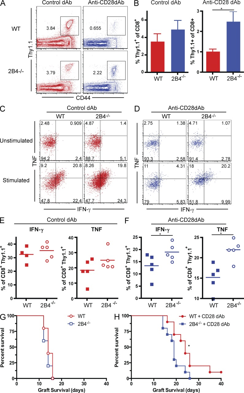 2B4 −/− CD8 + T cells are resistant to the effects of selective <t>CD28</t> blockade. 10 6 Thy1.1 + OT-I or 10 6 Thy1.1 + 2B4 −/− OT-I and 10 6 Thy1.1 + OT-II T cells were adoptively transferred into naive B6 recipients, which were then challenged with an OVA-expressing skin graft in the presence of control Vκ dAb or anti-CD28 dAb, and then dosed on days 0, 2, 4, and 6 and three times per week continuously thereafter as described in the Materials and methods. Graft-draining LNs were harvested on day 10 after transplant and analyzed by flow cytometry. (A) Frequencies of donor-reactive CD8 + Thy1.1 + T cells WT and 2B4 −/− donor-reactive T cells in the presence or absence of anti-CD28 dAb. Data shown are gated on CD8 + T cells. (B) Summary data showing expansion of 2B4 −/− donor-reactive CD8 + T cells after treatment with anti-CD28 dAb as compared with expansion of WT OT-I T cells (P = 0.03). (C) IFN-γ and TNF production of donor-reactive CD8 + Thy1.1 + T cells in untreated animals that received WT or 2B4 −/− T cells. Data shown are gated on CD8 + Thy1.1 + T cells. (D) IFN-γ and TNF production of donor-reactive CD8 + Thy1.1 + T cells in anti-CD28 dAb–treated animals that received WT or 2B4 −/− T cells. Data shown are gated on CD8 + Thy1.1 + T cells. (E) Frequencies of IFN-γ + and TNF + donor-reactive CD8 + T cells in untreated recipients of WT versus 2B4 −/− OT-I T cells. (F) Frequencies of IFN-γ + (P = 0.0343) and TNF + (P = 0.0159) donor-reactive CD8 + T cells in anti-CD28 dAb–treated recipients of WT versus 2B4 −/− OT-I T cells. Flow plots are representative and graphs are summary data from two independent experiments with a total of 10 animals per group. (G and H) Recipients of WT or 2B4 −/− OT-I were left untreated (G) or treated with anti-CD28 dAb (H) and monitored for skin graft survival (P = 0.0299). *, P
