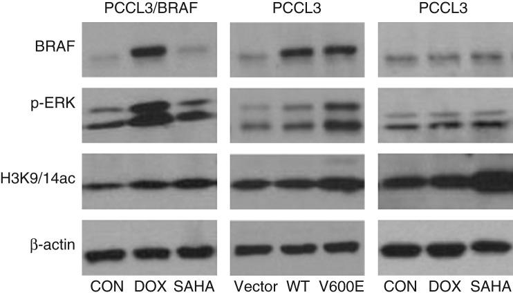 Global histone acetylation changes in PCCL3/BRAF and PCCL3 cells upon various treatments. 10 6 cells were planted in 12-well plates in each condition. PCCL3/BRAF cells were treated with 1 μg/ml DOX to induce BRAF V600E expression (left), PCCL3 cells were transiently expressed with BRAF V600E (middle), and PCCL3 cells were treated with DOX at 1 μg/ml or SAHA at 0.5 μM (right), followed by cell lysis and protein preparation for western-blotting 48 h later. BRAF V600E expression was successfully induced, accompanied by P-ERK activation and increase in global H3K9/14 acetylation. SAHA at 0.5 μM increased global histone H3K9/14 acetylation in both PCCL3/BRAF cells and WT PCCL3 cells. PCCL3 cells treated with DOX at 1 μg/ml did not show change in histone H3K9/14 acetylation, unlike treatment with SAHA. CON, control; DOX, doxycycline; p-ERK, phosphorylated ERK; H3K9/14ac, acetylated H3K9/14.