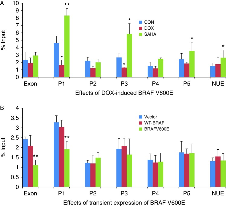 Effect of BRAF V600E on H3K9/14 acetylation in the rat NIS promoter in rat thyroid cells. (A) In PCCL3/BRAF cells, DOX at 1 μg/ml induced BRAF V600E expression after 48 h, accompanied by decrease in H3K9/14 acetylation in the regions P1, P2, and P3 of the NIS promoter, most dramatically in P1. SAHA at 0.5 μM increased H3K9/14 acetylation in regions P1, P3, P4, and NUE. (B) In PCCL3 cells, transient expression of BRAF V600E decreased H3K9/14 acetylation at exon 1 and P1 of the NIS promoter while transfection with WT-BRAF had no effect. Histone acetylation status was analyzed by ChIP. The levels of H3K9K14 acetylation are expressed as fraction of the input DNA (material before immunoprecipitation). Threshold cycles ( C t) were determined for ChIP samples and the input DNA, and the relative amount of immunoprecipitated DNA (% ChIP signal per input DNA) was calculated as 100 2Δ C t . Each bar represents the mean value ± s.e.m. of at least three different experiments. The promoter regions are as presented in Table 1 . EXON, exon 1; NUE, nuclear upstream enhancer; CON, control; DOX, doxycycline; rNIS, rat NIS. * P