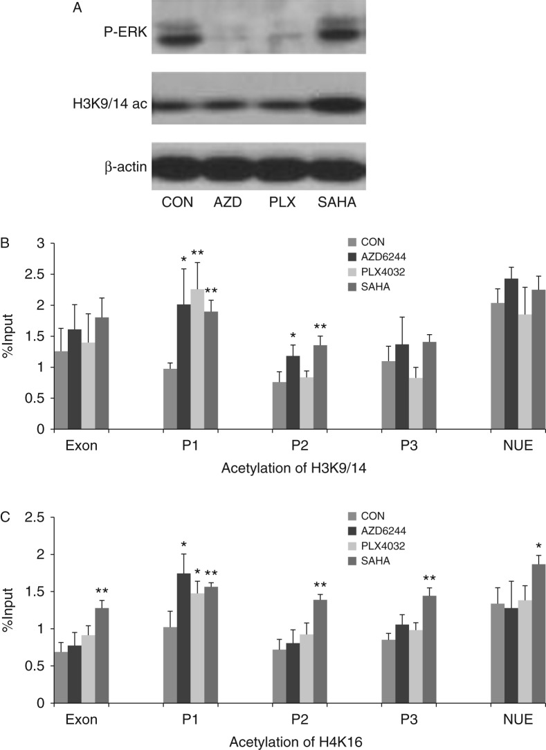 The role of BRAF V600E/MAP kinase pathway in modulating histone acetylation at the human NIS promoter in thyroid cancer BCPAP cells. (A) Treatment of BCPAP cells with the MEK inhibitor AZD6244 (AZD) at 1 μM and the BRAF V600E inhibitor PLX4032 (PLX) at 1 μM for 48 h completely suppressed downstream P-ERK and had no significant effect on global H3K9/14 acetylation. The histone deacetylases inhibitor SAHA at 0.5 μM increased global H3K9/14 acetylation in BCPAP cells. (B) Effects of various inhibitors on H3K9/14 acetylation at the human NIS promoter. ChIP assay was used to analyze histone acetylation. AZD increased H3K9/14 acetylation at regions P1 and P2, PLX increased H3K9/14 acetylation at region P1, and SAHA increased H3K9/14 acetylation at regions P1 and P2 of the human NIS promoter. (C) Effects of various inhibitors on H4K16 acetylation at the human NIS promoter. Both AZD and PLX increased H4K16 acetylation at region P1 of the human NIS promoter and SAHA increased H4K16 acetylation in all the regions. The levels of histone acetylation were expressed as fraction of the input DNA. Each bar represents the mean value ± s.e.m. of at least three different experiments. The human NIS promoter regions are as presented in Table 1 . P-ERK, phosphorylated ERK; H3K9/14ac, acetylated H3K9/14; CON, control; AZD, AZD6244; PLX, PLX4032. * P