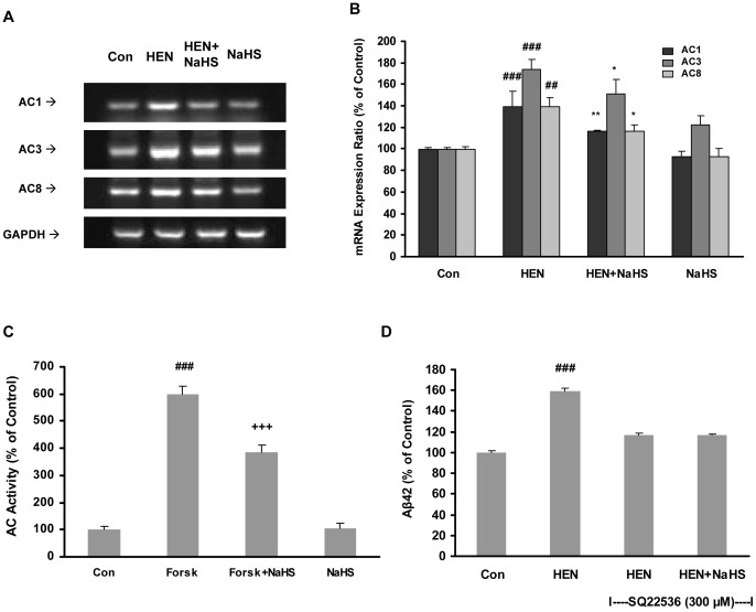 Effect of NaHS on mRNA expression of AC isoforms and AC activity. A–B : Representative gels (A) and histogram (B) demonstrating the effect of pretreatment with NaHS (100 µM, 12 hours) attenuated the effects of HENECA (100 nM, 24 hours) on mRNA expressions of AC isoforms. C : Effect of NaHS (100 µM) on AC activity stimulated by forskolin (20 µM). D : Effect of NaHS (100 µM) on Aβ42 production in SH-SY5Y cells preincubated with AC antagonist, SQ 22536 (300 µM). Control values were adjusted to 100%. Data are given as means ± S.E.M, n = 4–6. ## p