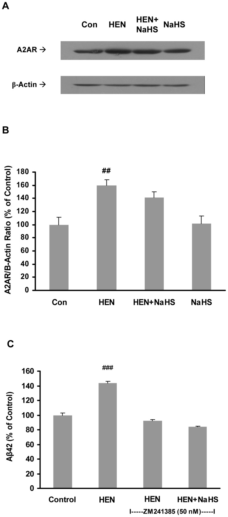 Effect of NaHS on expression of A2A receptors. A–B : Representative gels (A) and histogram (B) demonstrating the effect of pretreatment with NaHS (100 µM, 12 hours) did not attenuate the effects of HENECA (100 nM, 24 hours) on protein expression of A2A receptor. C : Effect of NaHS (100 µM) on production of Aβ42 in cells pre-treated with A2A receptor antagonist, ZM 241385 (50 nM). Control values were adjusted to 100%. Data are given as means ± S.E.M, n = 4–6. ## p