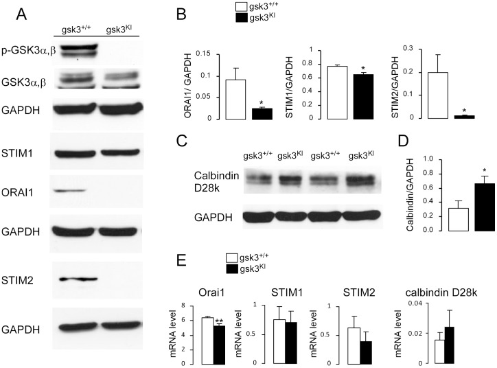 Orai1, STIM1, STIM2 and calbindin-D28k mRNA and protein abundance in DCs from gsk3 KI and gsk3 WT mice. A. Original western blot showing the protein abundance of phosphorylated (p, Ser21/9) GSK3α,β, total GSK3α,β and respective GAPDH, STIM1, Orai1 and respective GAPDH, STIM2 and respective GAPDH in DCs derived from bone marrow of gsk3 KI and gsk3 WT mice. Blots were stripped and reprobed with a GAPDH antibody to determine equal protein loading. Also the blot of p-GSK3 was stripped and reprobed with GSK3 antibody. B. Arithmetic means ± SEM (n = 4 independent experiments) of the relative (to GAPDH) protein abundance of Orai1, STIM1 and STIM2 in gsk3 WT DCs (white bars) and gsk3 KI DCs (black bars). *(p