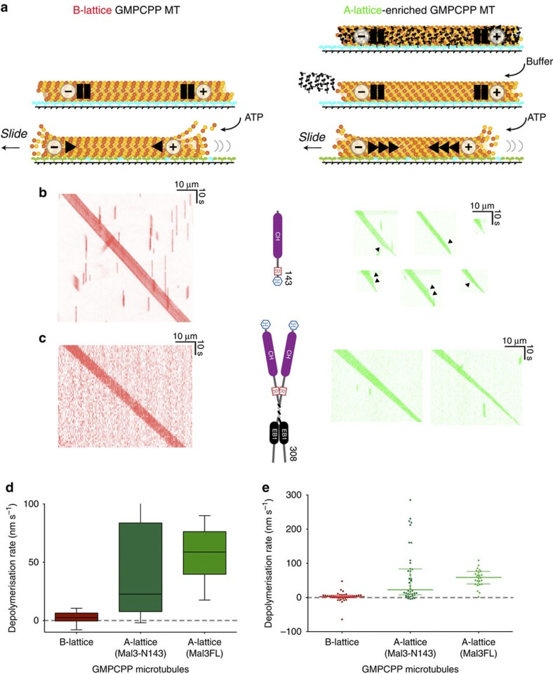Stability of A-lattice seam-enriched GMPCPP MTs. MT seeds were assembled from Alexa fluorophore-labelled pig brain tubulin using the slowly hydrolysable GTP analogue GMPCPP to create B-lattice MTs with a single A-lattice seam. Co-assembly with Mal3 monomer Mal3–N143 or dimer Mal3FL formed A-lattice-enriched MTs. After pelleting through a glycerol cushion MTs were attached to a flow cell surface coated with rat kinesin-1 motor protein rKin430 and the flow cell flushed with buffer to remove any residual Mal3. ATP was then added to activate the kinesin-1 MT translocase activity and release the kinesin clamp on the MTs. Blue: rigor bound kinesin heads. Green: detached kinesin heads. ( a ). MT images were recorded by fluorescence microscopy and kymographs created from the movies of translocating MTs. B-lattice single-seam MTs (red kymographs) were compared with A-lattice-enriched MTs (green kymographs) assembled with either Mal3 monomer Mal3–N143 ( b ) or Mal3FL dimer ( c ). B and A-lattice-enriched MTs in ( b ) were both labelled with Alexa-488 fluorophore and recorded separately. The A- and B-lattice MTs in ( c ) were recorded in the same flow cell. To do this, A-lattice-enriched MTs were labelled with Alexa-488 and B-lattice single-seam MTs dual labelled with Alexa-680 and Alexa-488. A single shrinkage rate was calculated for each MT from the total decrease in MT length and the distributions were plotted as box and whisker (box: median and interquartile range, whisker: 10–90% ( d ) or as a scatter plot of all data points with median and interquartile ranges ( e ). The median shrinkage rates are significantly different (Kruskal–Wallis test ( H =49.139, df=2, P =2.14 × 10 −11 ) with median A-lattice rates of 22.6 nm s −1 ( n =40) for Mal3-N143 and 58.8 nm s −1 for Mal3FL ( n =25), significantly faster (Dunn's post-test P