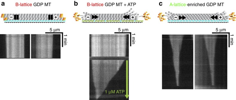 Effect of A-lattice seam enrichment on GDP MTs. Pure S. pombe single isoform tubulin MTs were assembled with GTP for B-lattice single-seam MTs ( a , b ) or with GTP and Mal3FL for A-lattice-enriched MTs ( c ). MTs were attached to a flow cell surface coated with rKin430, a double-headed construct of rat kinesin-1. The flow cells were flushed with buffer to remove unbound MTs and Mal3, then the MTs were imaged by dark-field microscopy, kymographs created and the shrinkage rates measured ( Table 3 ). The B-lattice single-seam GDP MT was stable when rigor bound to rKin430 kinesin ( a ). Only when the B-lattice single-seam MT flow cell was flushed with buffer containing ATP to enable MT translocation was significant shrinkage observed ( b ). The rigor-bound A-lattice-enriched MTs were unstable and rapidly disassembled before addition of ATP ( c ). Blue: rigor-bound kinesin heads. Green: detached kinesin heads.
