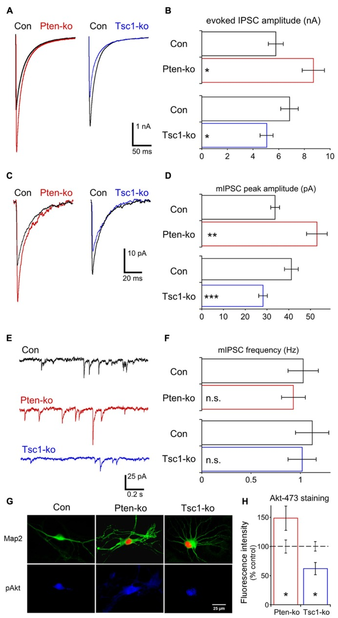 Loss of Pten or Tsc1 has opposite effects on GABAergic synaptic transmission in hippocampal GABAergic neurons. (A) Representative responses of voltage-clamped Pten-ko (red trace) and Tsc1-ko (blue traces) neurons and their controls (overlaid black traces) to a 2 ms depolarization to 0 mV from -70 mV. (B) Bar graph showing AP-evoked IPSC peak amplitudes (mean ± SEM) of Pten-ko (red bars) and Tsc1-ko (blue bars) neurons and their respective controls (black bars). (C) Representative traces showing the average of mIPSCs collected from one Pten-ko neuron (red trace), one Tsc1-ko neuron (blue trace) and their respective controls (overlaid black traces). (D) Bar graph showing mIPSC peak amplitudes (mean ± SEM) of Pten-ko (red bars) and Tsc1-ko (blue bars) neurons and their respective controls (black bars) (E) Representative traces showing control (black trace), Pten-ko (red trace), and Tsc1-ko (blue trace) miniature postsynaptic current activity from hippocampal GABAergic neurons. (F) Bar graph showing mIPSC frequencies (mean ± SEM) of Pten-ko (red bars) and Tsc1-ko (blue bars) neurons and their respective controls (black bars). (G) Representative images showing immunofluorescence from Map2 (green) and p-Akt S473 (blue) from control (left column), Pten-ko (middle column) and Tsc1-ko (right column) neurons. Red fluorescence in Pten- and Tsc1-ko neurons is from the Cre-RFP fusion protein. (H) Intensity values (mean ± SEM) for pAkt measured from Pten-ko (red bar) and Tsc1-ko (blue bar) relative to their respective controls (black dashed line). * p ≤ 0.05, * * p ≤ 0.01, *** p ≤ 0.001, n.s. = not significant.