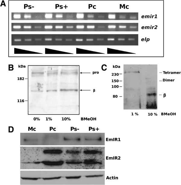 Expression of EmIR1 and EmIR2 in E. multilocularis larval stages. A) Semi-quantitative RT-PCR of emir1 and emir2 expression. Serial 1/10 dilutions of cDNA from metacestode vesicles (MC), primary cells (PC) as well as dormant (PS-) and low pH/pepsin-activated protoscoleces (PS+) were subjected to gene-specific PCR using intron-flanking primers. PCR products were separated on a 1% agarose gel and stained with ethidium bromide. The constitutively expressed gene elp was used as control. B) Western blot and immunoprecipitation employing the EmIR1 anti-serum. EmIR1 was immunoprecipitated from metacestode vesicles and treated with β-mercaptoethanol (beta-MeOH) at concentrations of 0%, 1% and 10%. Probes were then separated on a 12.5% polyacrylamide gel and developed using the anti-EmIR1 antiserum. 'pro' and 'beta' indicate the pro-form and the β-subunit of EmIR, respectively. C) Immunoprecipitation and Western blot using the anti-EmIR2 serum. EmIR2 was immunoprecipitated from protoscolex preparations, samples were then supplemented with 1% or 10% of β-mercaptoethanol (β-ME) and separated on a 10% SDS gel. Western blot was carried out using the anti-EmIR2 antiserum. D) Immunodetection of EmIR1 and EmIR2 in different larval stages using immune sera. Parasite larvae were lysed, protein preparations were then separated by SDS-PAGE, blotted onto a membrane and detected by the antisera. The purified anti-EmIR2 immune serum recognized the EmIR2 β-subunit at 87 kDa and a second band at 60 kDa. The EmIR1 β-subunit was detected at 150 kDa using the anti-EmIR1 immune serum. Actin was used as a loading control. Mc, metacestode vesicles; Pc, primary cells; Ps-, dormant protoscoleces; Ps+, activated protoscoleces.