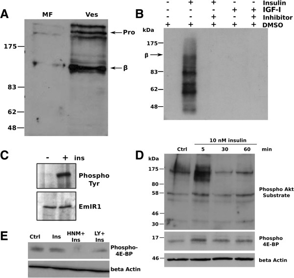 Effects of insulin on the phosphorylation of metacestode vesicle proteins. A) Detection of EmIR1 in vesicle membrane fractions (MF). Vesicles from in vitro culture were homogenized and the MF was isolated. Western blot detection was carried out on MF and whole vesicle preparations (Ves) using the anti-EmIR1 antiserum. 'Pro' and 'β' mark the receptor pro-form and β-subunits. B) Phosphorylation of EmIR1 in response to insulin. Metacestode MF was stimulated for 10 minutes with either 100 nM insulin or IGF-I, followed by 30 minutes incubation with 100 μM HNMPA(AM) 3 or control DMSO. Phosphorylation of membrane proteins was carried out for 40 minutes in the presence of [ 32 P] γ-ATP. Proteins of the MF were precipitated using the anti-EmIR1 antiserum. Proteins were then separated by 8% SDS-PAGE and phosphorylation was detected by autoradiography. Bands are visible at the size of the EmIR1 β-subunit and below. C) Phosphorylation of EmIR1 after insulin stimulation of metacestode vesicles. Vesicles were stimulated (+) or not (−) with 100 nM insulin for 10 minutes. Following solubilisation of membrane proteins, the EmIR1 β-subunit was precipitated using the anti-EmIR1 antiserum and separated by SDS-PAGE. Western blot detection was carried out using the anti-EmIR1 antiserum (lower panel) or an anti-phospho-tyrosine antibody (upper panel). D) Phosphorylation of Echinococcus PI3K/Akt pathway components in response to insulin. Vesicles were stimulated with 10 nM insulin for the times indicated above. Vesicle lysates were subsequently separated by SDS-PAGE and probed using antibodies against the phosphorylated Akt substrate motif or phospho 4E-BP as indicated. β-Actin was used as loading control. E) Inhibition of 4E-BP phosphorylation through HNMPA(AM) 3 . Vesicles were incubated for two hours with 100 μM HNMPA(AM) 3 (HNM+) or the PI3K inhibitor LY294002 (LY+) before stimulation with 10 nM insulin. Crude lysates were probed with the anti-phospho 4E-BP antibody. β-Actin was used a