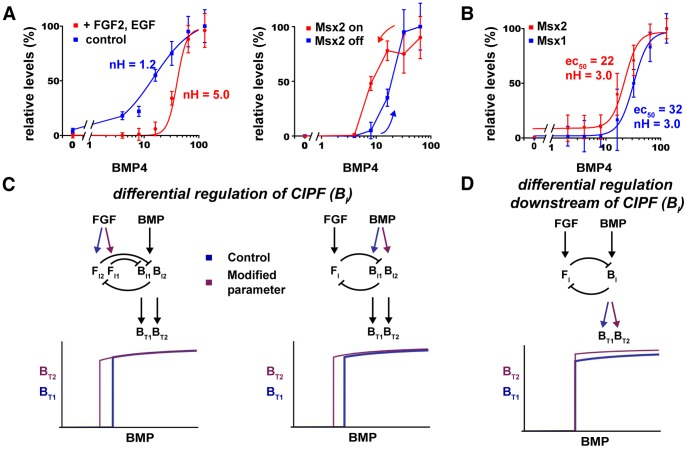 BMP-FGF CIPF leads to distinct Msx1 and Msx2 EC 50 values. ( A,B ) Msx2 responses in E12.5 CPCs with the same paradigms used for Msx1 in Figure 3 . (A, Left panel) Msx2 induction by BMP4 alone is linear (blue line, nH = 1.2). With FGF2 and EGF, Msx2 induction becomes ultrasensitive (red line, nH = 5.0) similar to Figure 3C . (A, Right panel) In the 2-day washout paradigm with BMPR inhibitor LDN193189, CPCs treated initially with BSA (blue) follow a different Msx2 induction curve compared with those treated initially with BMP4 (red), thus displaying hysteresis. ( B ) Msx1 (blue) and Msx2 (red) responses to BMP4 in the same CPCs, with FGF2 and EGF present. Msx2 has a lower EC 50 (22 ng/ml BMP4, nH = 3.0) than Msx1 (32 ng/ml BMP4, nH = 3.0). ( C,D ) CIPF network changes that affect B T EC 50 values. (C) Networks in which the balance between B I and F I in the CIPF loop is different produce different EC 50 values. (D) Network changes downstream of the CIPF loop, such as B I -to-B T gains, do not shift EC 50 values. See also Figure S6 .