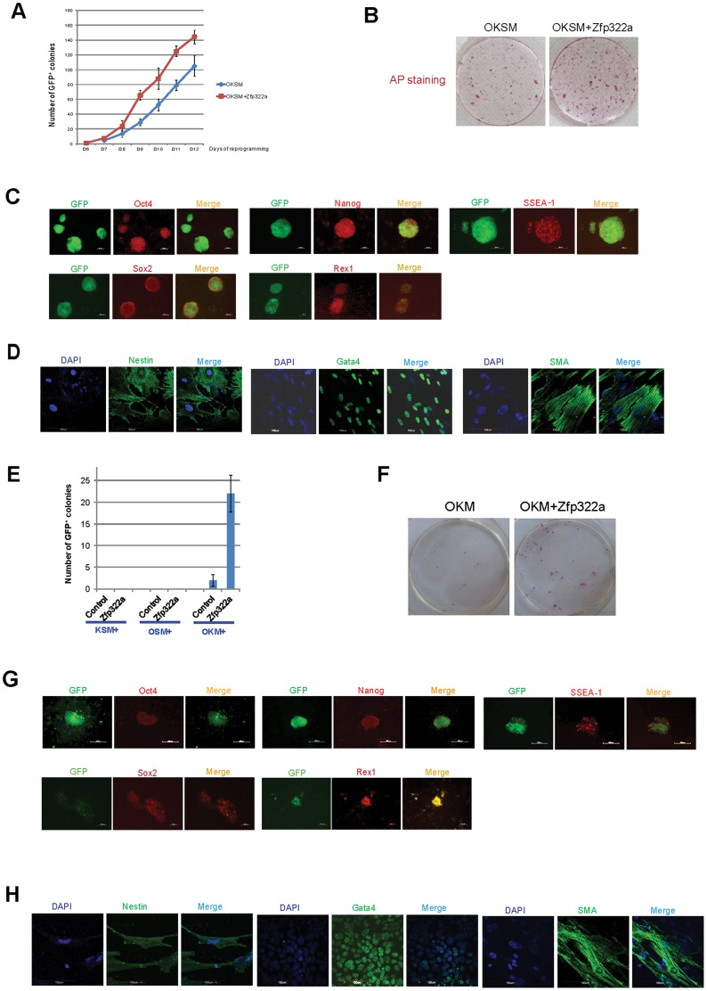 Zfp322a can enhance OSKM reprogramming and replace Sox2. ( A ) Zfp322a enhanced reprogramming efficiency and accelerated the onset of reprogramming process. OSKM serves as control experiment. ( B ) The iPSCs generated from OSKM plus Zfp322a presented alkaline phosphatase activity. There were more AP stained colonies generated from OKSM+Zfp322a compare to OKSM. ( C ) The iPSCs expressed endogenous Oct4, Nanog, Sox2, Rex1 and SSEA-1, indicating that they were ES-cell like. Immunostaining using anti-Oct4, anti-Nanog anti-Sox2, anti-Rex1 and anti-SSEA-1 antibodies were performed with GFP + iPSCs generated from OKSM+Zfp322a. ( D ) GFP + iPSCs generated by OKSM+Zfp322a were able to express ectoderm, mesoderm and endoderm lineage markers in the EB formation assay. iPSCs were stained with anti-Nestin, anti-Gata4 and anti-alpha smooth muscle actin (SMA) antibodies and pictures were taken at 60× magnification. DAPI (blue) served as nucleus marker. ( E ) Zfp322a was able to replace Sox2, but not Oct4 or Klf4 in OSKM reprogramming process. Results from three independent experiments were presented. ( F ) iPSCs generated from OKM plus Zfp322a were positive with AP staining and more AP positive colonies were observed in OKM+Zfp322a as compared to OKSM. ( G ) iPSCs generated by OKM plus Zfp322a expressed pluripotency markers Oct4, Nanog, Sox2, Rex1 and SSEA-1. ( H ) iPSCs derived from OKM+Zfp322a could differentiate into ectoderm, mesoderm and endoderm lineages, which were showed by anti-Nestin, anti-Gata4, anti-SMA staining respectively.