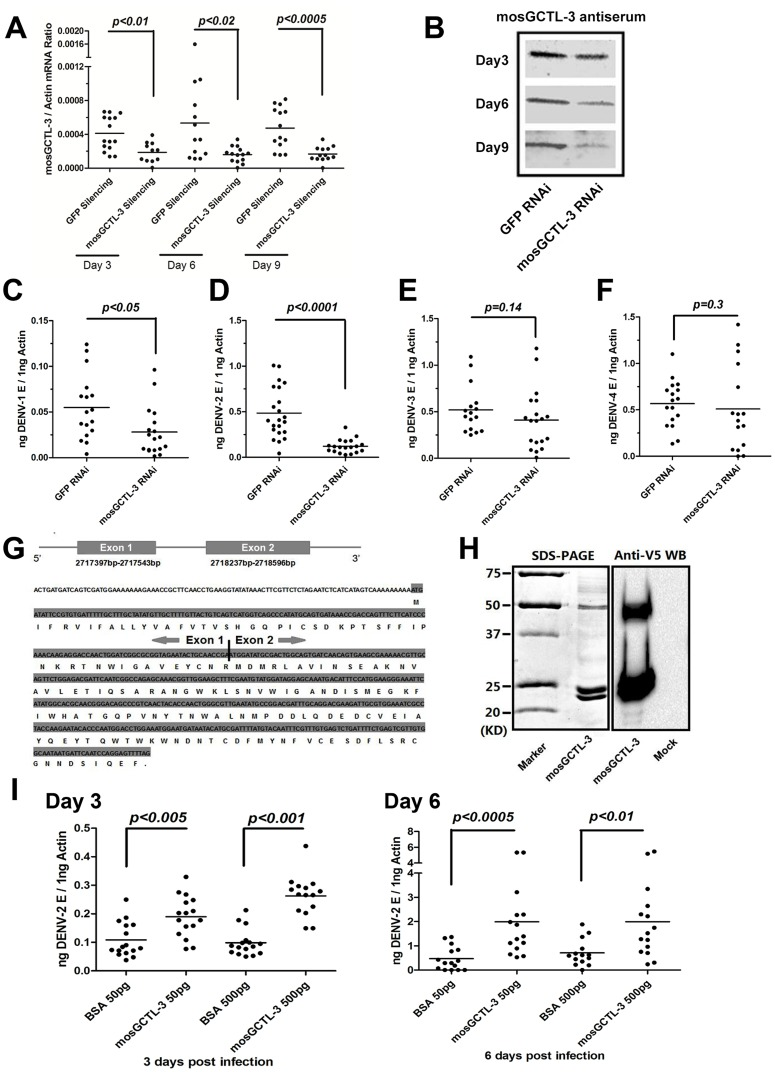 mosGCTL-3 facilitated DENV infections. ( A–B ) Silencing efficiency of mosGCTL-3 on both RNA level and protein level. 2 ug GFP or mosGCTL-3 dsRNA was inoculated into mosquitoes thorax respectively. At 3, 6 and 9 days after the treatment, the mosquitoes were sacrificed to determine silencing effect by qPCR and normalized by A. aegypti actin (A). The primers of dsRNA synthesis and qPCR detection were described in Table S3 . The mosGCTL-3 silenced or mock mosquitoes were grinded in lysis buffer and mosGCTL-3 was detected by immunoblotting (B). ( C–F ) mosGCTL-3 suppression impairs the infection of dengue serotypes. 10 M.I.D. 50 DENV-1 Hawaii strain (C), DENV-2 New Guinea C strain (D), DENV-3 Guangdong strain (E) and DENV-4 H241 strain (F) viruses were inoculated into mosGCTL-3 silenced mosquitoes by microinjection respectively. The viral load was determined at 6 days post-infection by qPCR and normalized by A. aegypti actin . The result was pooled from 3 independent experiments. ( G ) Diagram of mosGCTL-3 gene. An extra exon (Exon 1) of mosGCTL-3 , which encoded a peptide with 20 amino acid signal sequence, was identified by the 5′-RACE. ( H ) Expression and purification of mosGCTL-3 by a Drosophila expression system. mosGCTL-3 gene was cloned into pMT/BiP/V5-His-A DNA vector. The recombinant mosGCTL-3 was expressed and purified by a Cobalt-His column (Left panel). The expression was probed by anti-V5 mAb (Right panel). Mock was the concentrated supernatant of empty vector transfected Drosophila S2 cells. ( I ) Inoculation of mosGCTL-3 purified protein benefited DENV-2 infection in A. aegypti . 50 pg or 500 pg purified S2-expressed mosGCTL-3 protein was microinjected into each mosquito with 10 M.I.D. 50 DENV-2. The infected mosquitoes were sacrificed at 3 and 6 days post infection. The same amount of BSA was inoculated with DENV-2 as mocks. The viral load was determined by qPCR and normalized by A. aegypti actin . This experiment was repeated 3 times individually. One dot represented 1 mosquito and the horizontal line represented the mean value in all figures. We used the Mann-Whitney test for statistical analysis.