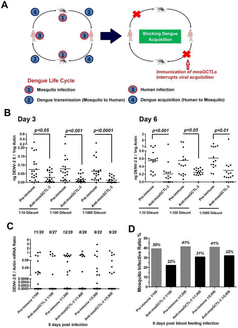 mosGCTL-3 antisera interrupted DENV-2 infection of A. aegypti . ( A ) Diagram of dengue life cycle and a transmission-blocking strategy for dengue prevention. ( B ) Inoculation of mosGCTL-3 antisera impaired DENV-2 infection of A. aegypti . The serial dilutions of mosGCTL-3 antisera or pre-immune sera with 10 M.I.D. 50 DENV-2 were inoculated into mosquitoes by microinjection. The infected mosquitoes were scarified at 3 days and 6 days post inoculation. DENV-2 was determined by qPCR and normalized by A. aegypti actin . One dot represented 1 mosquito and the horizontal line represented the mean value in all figures. The Mann-Whitney test was used for statistical analysis. The result was combined from 2 independent experiments. ( C–D ) mosGCTL-3 antisera interrupted DENV-2 infection by a blood meal. The mosGCTL-3 antisera or pre-immune sera were diluted 100-, 1,000- and 5,000-fold with fresh human blood and Vero cells-generated DENV-2. The mosquitoes were allowed to ingest the blood mixture by a membrane feeding. The fed mosquitoes were sacrificed 8 days later and DENV-2 infectivity was assessed by qPCR. The number of infected mosquitoes/total mosquitoes was presented on the top of each column (C). The mosquito infective ratio (D) was then interpreted from the Figure (C). One dot represented a mosquito. The result was pooled from 2 independent experiments.