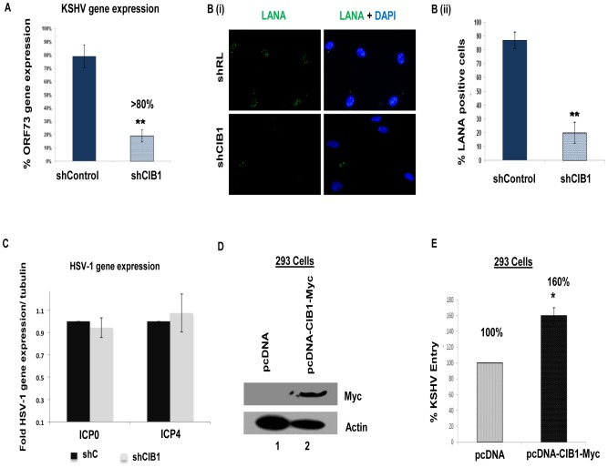 Effect of CIB1 knockdown on de novo KSHV infection. (A) Untransduced, control or CIB1-shRNA transduced HMVEC-d cells were infected with KSHV (20 DNA copies/cell). At 24 h p.i., cells were harvested, total RNA was isolated, and viral gene expression was determined by real-time <t>RT-PCR</t> with KSHV ORF73 gene specific primers. Results are presented as percentage of inhibition of KSHV gene expression by sh-CIB1 or control compared with the infected untransduced cells. ***P = 0.0001. (B) (i) Control or CIB1-shRNA transduced HMVEC-d cells were mock or KSHV infected (20 DNA copies/cell) for 2 h at 37°C, washed to remove unbound viruses, and continued to culture for another 46 h. At 48 h p.i., cells were processed for immunofluorescence analysis using mouse anti-LANA-1 antibodies and co-stained with DAPI. Representative images are shown. (B) (ii) The percentage of cells observed positive for characteristic punctate LANA-1 staining in IFA is presented graphically. A minimum of three independent fields, each with at least 10 cells were chosen. Error bars show ± SD. (C) Control or CIB1-shRNA transduced HMVEC-d cells were mock or HSV-1 infected (3 pfu/cell) for 2 h at 37°C, washed to remove unbound viruses, and incubated for another 6 h. At 8 h p.i., cells were harvested, total RNA was isolated, and HSV-1 gene expression was quantified by <t>SYBR</t> green q-PCR method with ICP0 and ICP4 gene specific primers. Results are presented as fold HSV-1 gene expression normalized to internal tubulin control. Error bars show ± SD. (D) 293 cells were either mock-transfected or transfected with CIB1 overexpressing vector pcDNA-CIB1-Myc using lipofectamine. At 48 h post-transfection, CIB1 overexpression was examined by Western blotting with rabbit anti-CIB1 and mouse anti-Myc antibodies. Actin was used as loading control. (E) At 48 h post-transfection, transfected 293 cells were infected with KSHV (20 DNA copies/cell) for 2 h at 37°C for entry experiments. Post-washing, total DNA was i