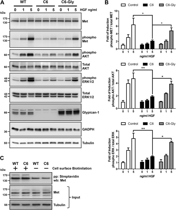 Myoblasts require glypican-1 expression for proper hepatocyte growth factor signaling. (A)  Wild-type (WT) C2C12 myoblasts and C6 myoblasts (glypican-1-deficient clone) transiently transfected with rat glypican-1 (C6-Gly), were serum-starved for 6hours and then treated with the indicated concentrations of hepatocyte growth factor (HGF) for 5minutes. The cell extracts were analyzed by immunoblotting for total HGF receptor (Met) levels, phospho-Met (Tyr 1235/1349), phospho- and total AKT levels, phospho- and total levels of extracellular signal-regulated kinases 1 and 2 (ERK1/2), glypican-1 core protein (after heparitinase treatment), glyceraldehyde 3-phosphate dehydrogenase (GAPDH) and tubulin. Total Met, AKT and ERK1/2 were used as loading control of its respective phosphorylated forms. GADPH and tubulin were used as loading control of glypican-1 expression levels. The Western blot images are representative of three independent experiments.  (B)  Quantitation of phospho-Met, phospho-AKT and phospho-ERK1/2 from three independent experiments is shown. Values are expressed as mean±standard deviation. Statistical significance was assessed using two-way analysis of variance and a Bonferroni multiple-comparisons posttest. * P