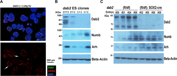 Mild defective positioning phenotype in embryoid bodies and compensatory expression of Arh and Numb in Dab2 null ES cells and embryos. (A) In some of the dab2 (-/-) ES clones (such as clone dfg15), a monolayer epithelial structure is seen at some of the surface of embryoid bodies (indicated by arrows), as shown by an example of a section stained with Dab2 (green) (no signal in this image), GATA4 (red), and DAPI (blue). (B) Western blot shows that Arh and Numb were variably expressed in embryoid bodies derived from several ES cell clones of different dab2 genotypes. (C) The expression of Dab2, Arh, and Numb adaptors proteins was analyzed by Western blotting of E9.5 embryos from matings between female dab2 (fl/fl) and male dab2 (+/df); Sox2-Cre. The embryos were harvested, dissected free of extraembryonic tissues, lysed and denatured in SDS buffer, and probed for Dab2, Arh, and Numb. The extraembryonic tissues were used for genotyping.