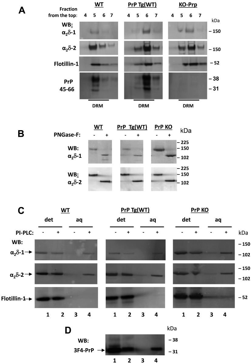 PI-PLC treatment and phase separation of α 2 δ-1, α 2 δ-2 and PrP in mouse cerebella ( A ) DRM fractions from WT (left-hand panel), PrP Tg(WT) (middle panel) and PrP KO (right-hand panel) mouse cerebella were prepared as described in the Materials and methods section. Aliquots were resolved on 3–8% Tris/acetate (to resolve α 2 δs) or 4–12% Bis-Tris gels (to resolve PrP in the same samples), and analysed by Western blotting (WB) with relevant antibodies as indicated. The full profile is not shown, but only the fractions of the sucrose gradient corresponding to DRMs identified by the presence of flotillin-1 (fractions 4–7 harvested from the top). The anti-α 2 δ-1 and anti-α 2 δ-2 antibodies recognize the α 2 -1 and α 2 -2 moieties. ( B ) Aliquots of concentrated DRM fractions from WT (left-hand panel), PrP Tg(WT) (middle panel) and PrP KO (right-hand panel) cerebella were treated with PNGase F and analysed by Western blotting with the indicated antibodies. ( C ) DRM fractions analysed in ( A ) were subjected to PI-PLC treatment and Triton X-114 phase separation (see the Materials and methods section), followed by PNGase F deglycosylation. The proteins remaining in the aqueous (aq) and detergent (det) phase were then resolved on 4–12% Bis-Tris gels and analysed with the indicated antibodies. Lanes 1 and 2in each panel are from detergent phase fractions, whereas lanes 3 and 4 are from the respective aqueous phase, treated or not with PI-PLC as indicated. ( D ) The PrP Tg(WT) fractions from ( C , middle panel) were also blotted for PrP using the 3F4 antibody. Molecular mass is shown on the right-hand side of the gels in kDa.