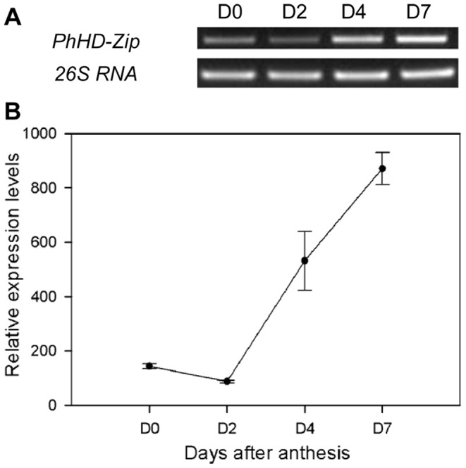 Expression of PhHD-Zip in petunia corollas during flower senescence. A. A representative gel image from semi-quantitative PCR of RNA isolated from corollas harvested at intervals after anthesis. D0: at anthesis; D2, D4, D7: 2, 4, and 7 days after anthesis, respectively. 26S RNA: the internal control. Samples were analyzed after 30 cycles of amplification for PhHD-Zip , and after 24 cycles of amplification for 26S RNA . B. Relative expression levels of PhHD-Zip (quantification of the gel pictures; error bars show SE of the means of three biological replicates).