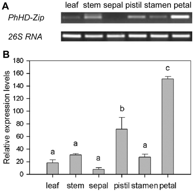 Expression of PhHD-Zip in different tissues of petunia. A. A representative gel image from semi-quantitative PCR of RNA isolated from different tissues. 26S RNA: the internal control. Samples were analyzed after 33 cycles for PhHD-Zip , and after 24 cycles for 26S RNA . B. Relative expression levels of PhHD-Zip in different tissues (quantification of the gel pictures; error bars show SE of the means of three biological replicates; different letters denote significant differences using Duncan's test at P