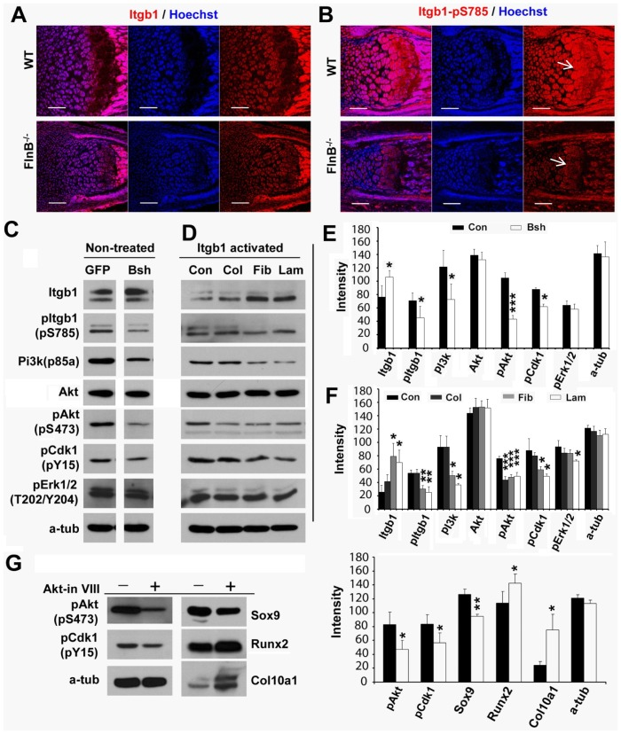 Loss of FlnB induces Cdk1 activity changes through β1 <t>integrin-Pi3k/Akt</t> pathway. (A, B) Immunostaining of total and phospho-β1 integrin (pS785)(postnatal day 1 radius). Phospho-β1 integrin (pS785) levels are down-regulated in FlnB knockout chondrocytes (arrows) (B). (C, E) Western blotting results show that Pi3k(p85 subunit) and phospho-Akt(pS473), as well as phospho-Cdk1(pY15) are down-regulated in FlnB knockdown (Bsh) ATDC5 cells. Total Akt levels are not changed. Total β1 integrin levels are up-regulated but phospho-β1 integrsin (pS785) are down-regulated. Results are quantified in (E). (D, F) β1 integrin activation (Itgb1) in ATDC5 cells regulates Pi3k/Akt and Cdk1 activation. Pretreatment of ATCD5 cells with fibronectin and laminin I but not collagen (col) induces up-regulation of total β1 integrin levels but down-regulation of phospho-β1 integrin (pS785) levels. Pi3k, pAkt and Cdk1(pY15) levels are down-regulated by fibronectin and laminin I. Total Akt levels are not changed. ATDC5 cells are incubated in the presence of extracellular matrix molecules: fibronectin, laminin, and collagen, which serve as ligands for the β1 integrin receptor, and activation of the downstream pathways are assessed by Western blot analyses. Con = control, Col = collagen, Fib = fibronectin, and Lam = laminin. (G) Pretreatment of ATDC5 cells with Akt inhibitor VIII decreases Akt(pS473), Cdk1(pY15) and Sox9 levels, but increases protein levels of hypertrophic markers such as Runx2 and Col0a1. * = p