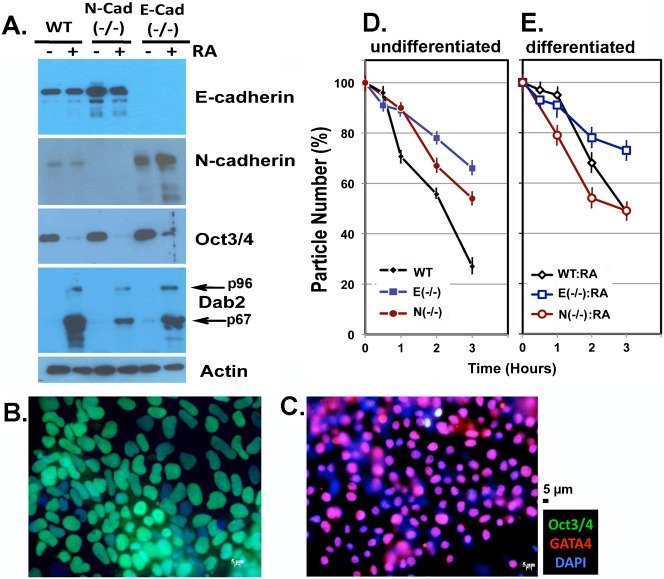 Cell adhesion molecule expression and the aggregation of wildtype and mutant ES cells. (A) Wildtype (WT), E-cadherin null (9J), and N-cadherin null (Ncad95) ES cells, with or without differentiation by retinoic acid, were analyzed by Western blot for the proteins levels of E-cadherin and N-cadherin. Oct3/4 and Dab2 levels are indicators of ES cell pluripotency or endoderm differentiation, respectively. The intensities of the signal in the Western blots were quantified using Image J program. (B,D) ES cells in monolayer cultures were analyzed by immunofluorescence microscopy by staining for Oct3/4, GATA4, and DAPI prior to (B), or following differentiation with 1 µM retinoic acid for 5 days (C). The representative individual images acquired were overlaid to produce the composed figures shown. (D) Rate of aggregation of the ES cells was determined as a measure of cell adhesive affinity. Cells were first mono-dispersed, washed with cold PBS, and then allowed to aggregate at 37°C. The aggregation of undifferentiated cells was measured using a Coulter Counter and the reduction of particle number is presented. (E) Wildtype, E-cadherin null (9J), and N-cadherin null (Ncad95) ES cells were first differentiated by treatment with retinoic acid for 4 days. The aggregation of the differentiated cells was measured using a Coulter Counter and the reduction of particle number is presented. Coulter Counter reading of particle numbers were performed using triplicate samples and the average and standard error are reported. Scale bars: 5 µm.