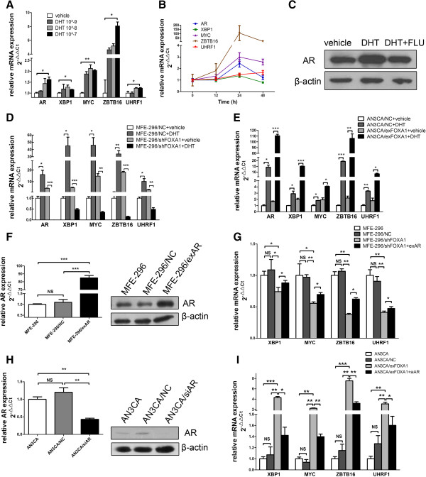 FOXA1 affects AR-mediated transcription. A : MFE-296 cells were treated with DHT (10 −9 to 10 −7 M) or vehicle (control) for 24 h. qRT-PCR was used to assess the levels of AR, XBP1, MYC, ZBTB16, and UHRF1 mRNA. The levels of each mRNA are shown relative to the level expressed in the vehicle sample. B : Quantification of AR, XBP1, MYC, ZBTB16, and UHRF1 mRNA by qRT-PCR in MFE-296 cells treated with 10 −7 M DHT for 0–48 h. C : Western blotting analysis of AR in MFE-296 cells treated with vehicle, 10 −7 M DHT, or 10 −7 M DHT plus 10 −6 M flutamide (DHT + FLU) for 24 h. β-actin was used as a loading control. D : MFE-296/NC and MFE-296/shFOXA1 cells were treated with 10 −7 M DHT or vehicle for 24 h followed by qRT-PCR analysis of AR, XBP1, MYC, ZBTB16, and UHRF1 mRNA. E : AN3CA/NC and AN3CA/exFOXA1 cells were treated with 10 −7 M DHT or vehicle for 24 h followed by qRT-PCR analysis of AR, XBP1, MYC, ZBTB16, and UHRF1 mRNA. F : Quantification of AR expression by qRT-PCR and western blotting in untransfected MFE-296 cells (MFE-296) and MFE-296 cells transfected with NC (MFE-296/NC) or exAR (MFE-296/exAR). G : Expression of XBP1, MYC, ZBTB16, and UHRF1 mRNA in untransfected MFE-296 cells and MFE-296 cells transfected with NC, shFOXA1, or shFOXA1 and exAR was measured by qRT-PCR. H : Quantification of AR expression by qRT-PCR and western blotting in untransfected AN3CA cells (AN3CA) and AN3CA cells transfected with NC (AN3CA/NC) or siAR (AN3CA/siAR). I : Expression of XBP1, MYC, ZBTB16, and UHRF1 mRNA in untransfected AN3CA cells and AN3CA cells transfected with NC, exFOXA1, or exFOXA1 and siAR was measured by qRT-PCR. *p