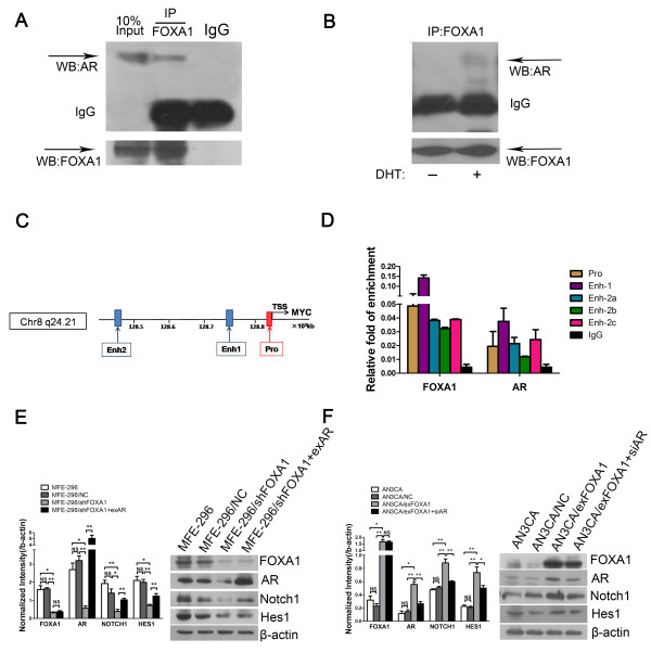FOXA1 affects AR-mediated transcription via binding with AR and activates the Notch pathway. A : Co-immunoprecipitation (IP) of FOXA1 with AR in MFE-296 cells. WB: western blotting. B : Co-immunoprecipitation of FOXA1 with AR in AN3CA cells treated with 10 −7 M DHT or vehicle. C : Schematic representation of the MYC locus. FOXA1-binding sites and AR-binding sites upstream of the TSS of MYC were predicted by ChIP-seq analysis. ChIP-PCR assays were performed using anti-FOXA1 antibody or anti-AR antibody. Pro: promoter region; Enh-1: enhancer 1 region; End-2: enhancer 2 region; TSS: transcription starting sites. D : Immunoprecipitated DNA fragments in ChIP-PCR assays were examined by qRT-PCR. Each sample was assayed in triplicate in each of three independent experiments. IgG was used as negative control. Primers were designed specifically for the promoter region (Pro), the enhancer 1 region (Enh-1), and the three putative FOXA1-AR binding sites within enhancer 2 region (Enh-2a, Enh-2b, and Enh-2c) according to the study [ 19 ]. E : Protein levels of FOXA1, AR, Notch1, and Hes1 in untransfected MFE-296 cells (MFE-296) and MFE-296 cells transfected with NC (MFE-296/NC), shFOXA1 (MFE-296/shFOXA1), or shFOXA1 and exAR (MFE-296/shFOXA1 + exAR) were measured by western blotting (Right), and further quantified by densitometry of triplicate experiments (Left). F : Protein levels of FOXA1, AR, Notch1, and Hes1 in untransfected AN3CA cells (AN3CA) and AN3CA cells transfected with NC (AN3CA/NC) , exFOXA1 (AN3CA/exFOXA1), or exFOXA1 and siAR (AN3CA/exFOXA1 + siAR) were measured by western blotting (Right), and further quantified by densitometry of triplicate experiments (Left). β-actin was used as a loading control. *p