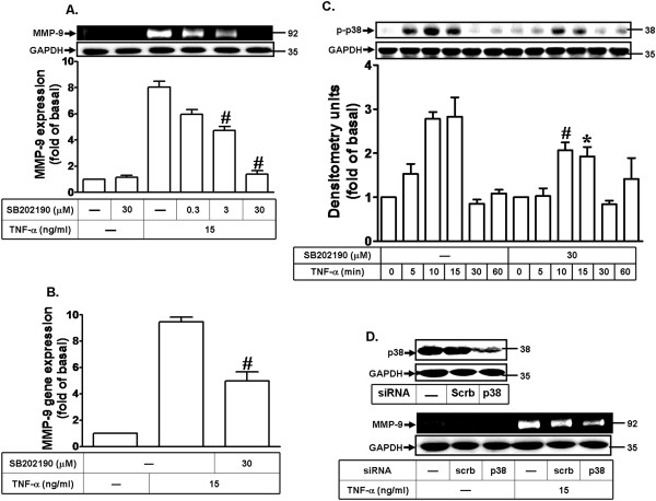 Involvement of p38 MAPK phosphorylation in TNF-α-induced MMP-9 expression. (A) Cells were pretreated with SB202190 for 1 h and then incubated with TNF-α (15 ng/ml) for 24 h. (B) Cells were pretreated with SB202190 (30 μM) for 1 h and then incubated with TNF-α (15 ng/ml) for 6 h. The isolated RNA samples were analyzed for the levels of MMP-9 mRNA by real-time PCR. Data are expressed as mean±SEM of three independent experiments. * P