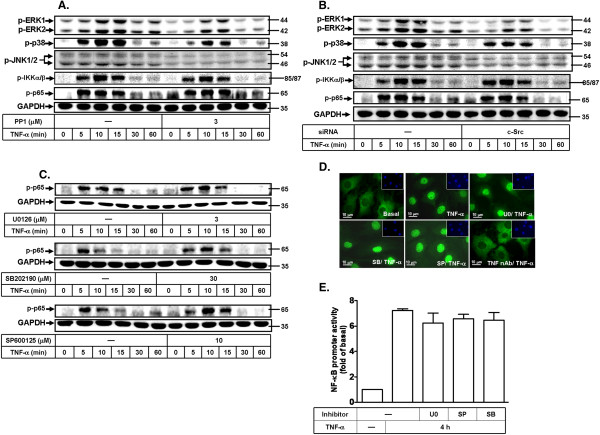 TNF-α stimulates c-Src-dependent MAPKs and NF-κB-dependent cascades in MC3T3-E1 cells. MC3T3-E1 cells were pretreated with 3 μM PP1 (A) transfected with c-Src siRNA (B) or pretreated with (C) U0126 (3 μM), SB202190 (3 μM), or SP600125 (3 μM) for 1 h, and then stimulated with TNF-α (15 ng/ml) for the indicated time intervals. The cell lysates were analyzed by Western blot using an anti-phospho-ERK1/2, anti-phospho-p38 MAPK, anti-phospho-JNK1/2, anti-phospho-IKKα/β, anti-phospho-p65, or anti-GAPDH (as a control) antibody. (D) Cells were pretreated with U0126 (3 μM), SB202190 (3 μM), SP600125 (3 μM), or TNF-α receptor 1 neutralized antibody (TNFR nAb) for 1 h and then stimulated with TNF-α (15 ng/ml) for 15 min. The translocation of p65 NF-κB was observed by immunofluorescence staining. (E) Cells were transfected with NF-κB-Luc construct, pretreated with U0126 (3 μM), SB202190 (3 μM), or SP600125 (3 μM) for 1 h, and then incubated with TNF-α (15 ng/ml) for 4 h. The cell lysates were collected and determined NF-κB-Luc activity. Similar results were obtained in three independent experiments.